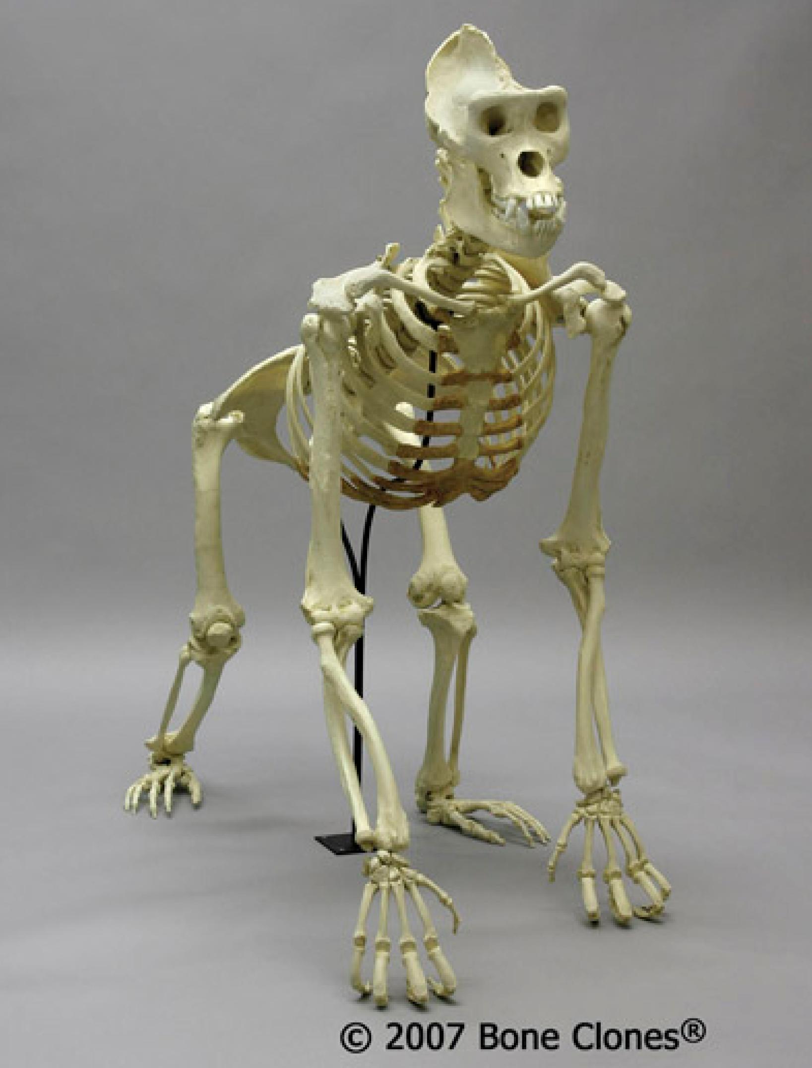 Gorilla boner sex pic